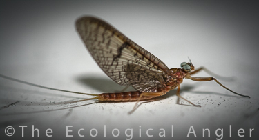 Adult Mayfly Aquatic Insect
