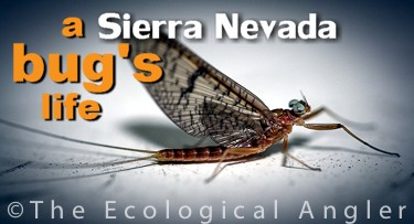 Aquatic Insect bugs of the Sierra Nevada