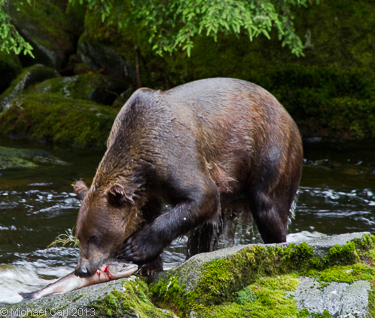 A grizzly bear eats a salmon from a Creek in Alaska