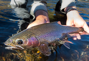 Deschutes River Redband Trout.