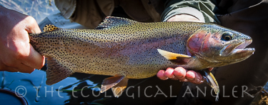 The Ecological Angler - Kern River (Heritage Trout Section)