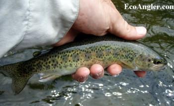 The ecological angler north fork mokelumne river for Mokelumne river fishing