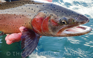 Native Lahontan Cutthroat Trout Spawning Color