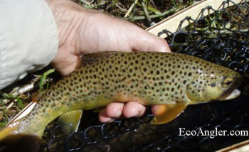 Rock Creek brown trout