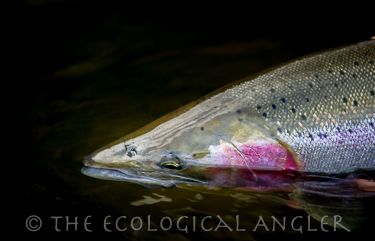 Wild Steelhead photographed in water of California Trinity River