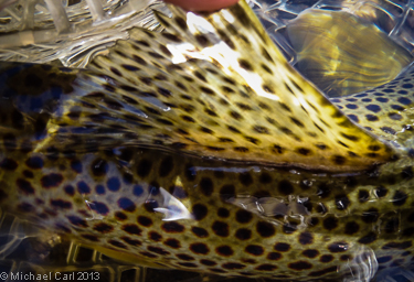 Doral fin of a wild brown trout.
