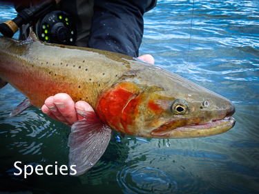 Lahontan Cutthroat Trout Species