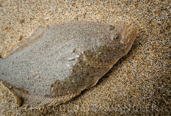 Flounder caught along one of California's sandy beaches while surf fishing.