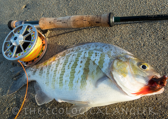 Surfperch caught fishing along the California Surf with a fly rod.