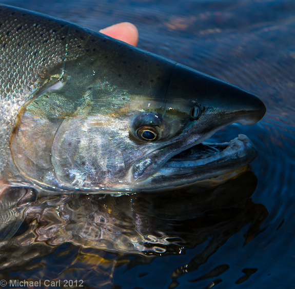 coho salmon reflects colors off water