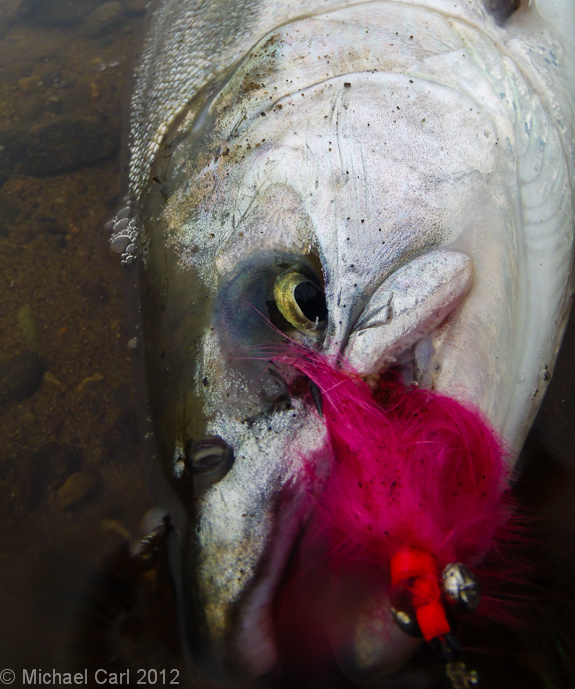 coho caught on a pink fly