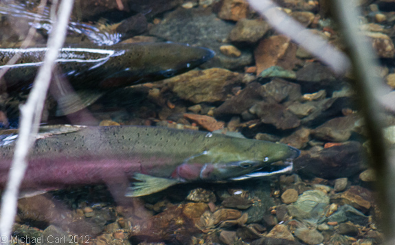 a male silver salmon displays his readiness to spawn with female coho in Lagunitas Creek part of Central Coast Califonia ESU
