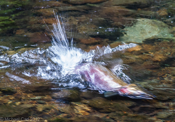 female  coho salmon builds her redd by sweeping her tail on gravel Lagunitas Creek in Marin County