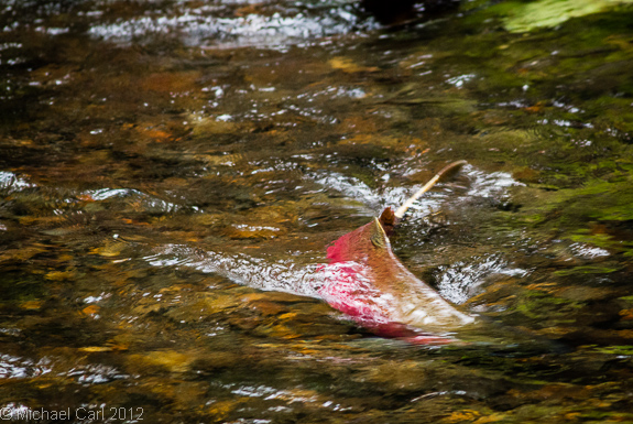 large male coho heading for spawning grounds in Lagunitas Creek watershed