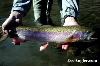 Take time to complete the Angler Survey at the start of the Wild and Scenic section on the East Fork of the Carson River especially if you catch a large rainbow trout like this