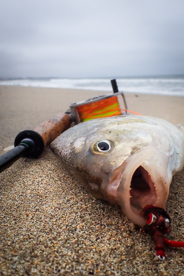 A barred surf perch hooked on fishing orange fly along a California beach