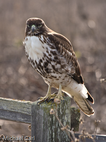Hazel Bazemore Hawk Watch, TX - Birding the Central Texas