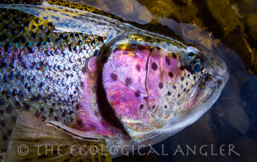 Fly Fishing Bristol Bay Alaska yields a rainbow trout caught in the famous Agulowak River