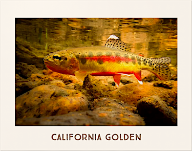 California Golden Poster photographed underwater by Michael Carl