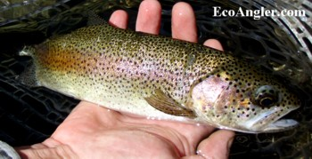This section of the Kern River offers beautiful native rainbows
