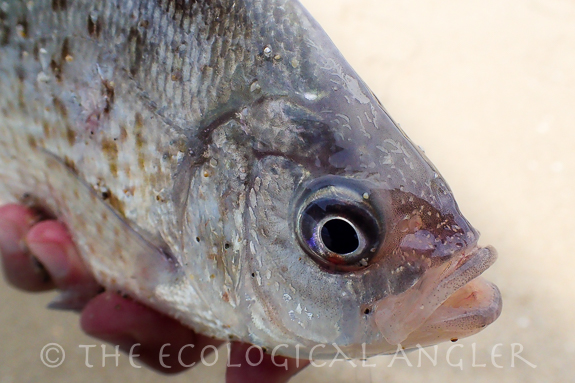 A redtail surfperch caught on a shrimp pattern while surf fishing.
