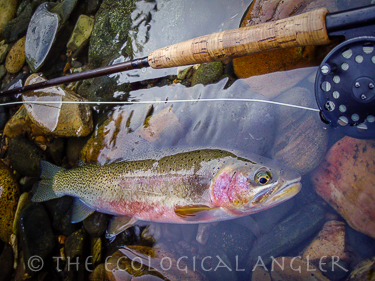 Westslope Cutthroat and bull trout inhabit the North Fork Blackfoot River.