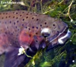 Whitehorse Creek Cutthroat taken on a parachute Adams.